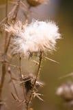 milkweed Fotografering för Bildbyråer