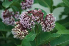 Milkweed flowers growing in flower garden. Milkweed Asclepias is the food for monarch butterfly caterpillars. The flowers are sweet smelling and detailed. Honey stock photography
