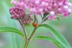 Milkweed Asclepias incarnata and Ladybug. A ladybug on a milkweed plant in the garden Royalty Free Stock Photo