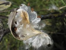 Milkweed Asclepias with the Seeds and Fibers Releasing From the Pod royalty free stock photography