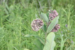 Milkweed, Asclepias syriaca  (flowering). Common Milkweed plant with blooming flowers that are pinkish-purple clusters which often droop, Milkweed flowers Royalty Free Stock Image