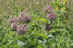 Milkweed, Asclepias syriaca  (flowering). Common Milkweed plant with blooming flowers that are pinkish-purple clusters which often droop, Milkweed flowers Stock Photos