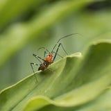 Milkweed Assassin Bug Stock Photos