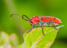 Milkweed Beetle Royalty Free Stock Photography