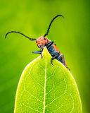Milkweed Beetle Stock Photos