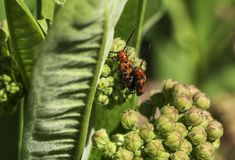 Milkweed beetles having a good time. Two milkweed beetles making little beetles on a milkweed plant on a hot summer day royalty free stock image