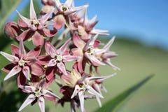 Milkweed-Blüten Lizenzfreie Stockfotografie