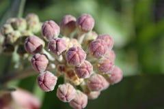 Milkweed-Blüten-Knospen Lizenzfreies Stockbild