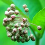 Milkweed Bloom. Close up of milkweed blooms ready to open royalty free stock image