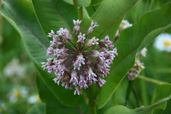 Milkweed Blossom. Milkweed Asclepias with green leaves are host plants for the Monarch butterfly royalty free stock photos