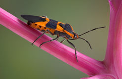Milkweed Bug Royalty Free Stock Images
