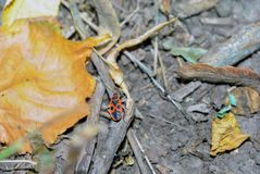 Milkweed Bug. These bugs are orange red with bold black markings. The back has V-shaped markings. The antennae and legs are black stock photo