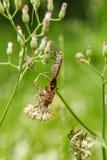 Milkweed bug on the grass flower Stock Image