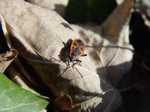 Milkweed bug on ivy leaf. Macro royalty free stock photo
