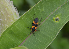 Milkweed Bug on a Milkweed Leaf. Taken at a local park Stock Images