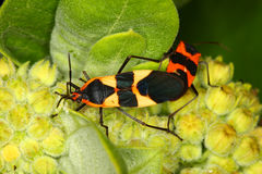 Milkweed Bug (Oncopeltus fasciatus) Royalty Free Stock Photography