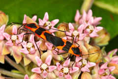 Milkweed Bug (Oncopeltus fasciatus) Stock Images