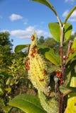 Milkweed Bug (Oncopeltus fasciatus) Royalty Free Stock Image