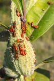 Milkweed Bug (Oncopeltus fasciatus) Royalty Free Stock Images