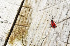 Milkweed bug Stock Photography