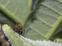 Milkweed bug on plant stock photography