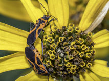 Milkweed bug on plant royalty free stock photos