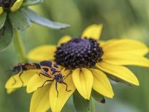 Milkweed bug on plant royalty free stock images