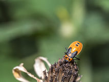 Milkweed bug on plant royalty free stock photography
