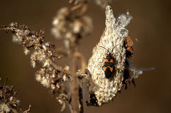 Milkweed bug on a pod. Close-up of milkweed bug on a pod in Autumn during the late afternoon royalty free stock photography