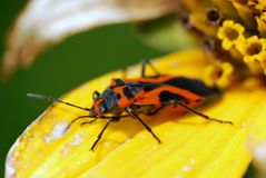 Milkweed Bug Poses for Camera Stock Image