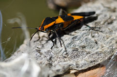 Milkweed Bug Resting on a Milkweed Pod Stock Photo