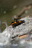 Milkweed Bug Resting on a Milkweed Pod Stock Images