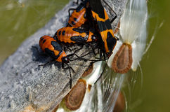Milkweed Bug Resting on a Milkweed Pod Royalty Free Stock Images