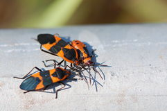Milkweed bugs bask in sunlight Stock Photo