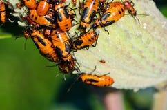 Milkweed Bugs on a Milkweed Pod Royalty Free Stock Image