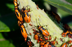 Milkweed Bugs on a Milkweed Pod Royalty Free Stock Photo