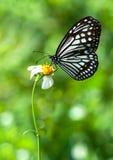 Milkweed Butterfly. On white flower stock image