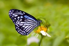 Milkweed butterfly Stock Images