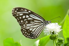 Milkweed butterfly feeding on white flower Royalty Free Stock Image