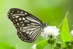 Milkweed butterfly feeding on white flower Stock Photography