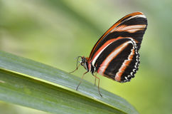 Milkweed Butterfly on leaf. Macro of Milkweed Butterfly Lycorea cleobaea on leaf and view of profile stock image