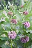 Milkweed común imagen de archivo