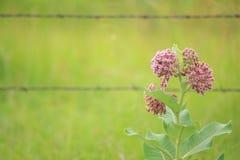 Milkweed común Fotografía de archivo libre de regalías