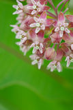 Milkweed commun Photos libres de droits