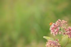Milkweed commun avec le papillon de monarque image libre de droits