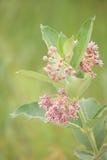 Milkweed comune Fotografia Stock