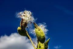 Milkweed déchargeant sa cosse soyeuse de graine dans le vent photos stock