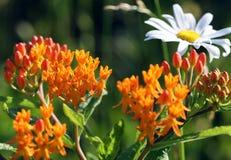 Milkweed de la mariposa Imagen de archivo