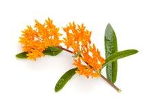 Milkweed de la mariposa Imágenes de archivo libres de regalías