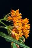 Milkweed de la mariposa contra negro Fotos de archivo